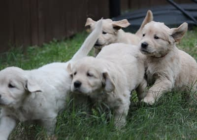 Puppies from Molly