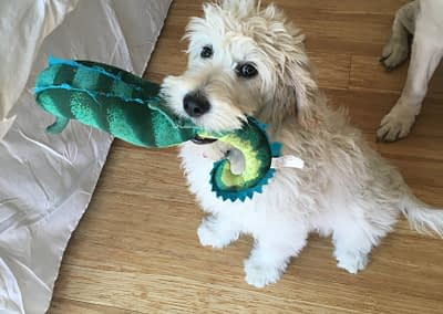 Kitty from Daphne (Goldendoodle)