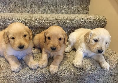 Goldendoodles from Zoe