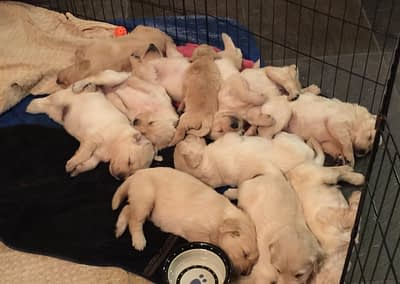 Puppies from Millie