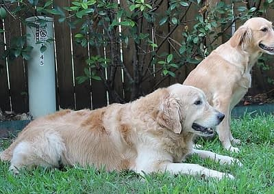 FW Golden Retrievers - Our Pack