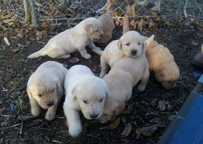 Puppies from Luna